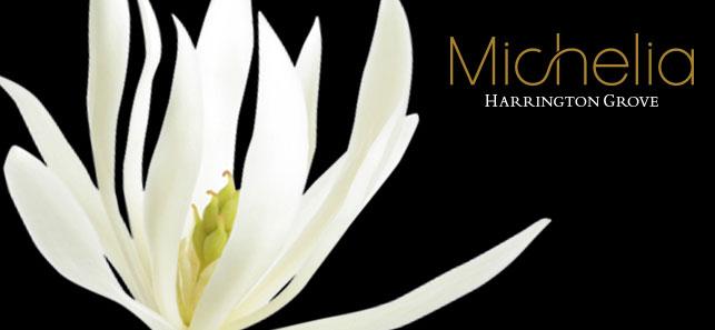 michelia-coming--soon